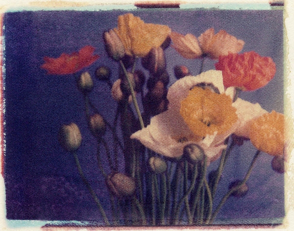Untitled (Poppies)